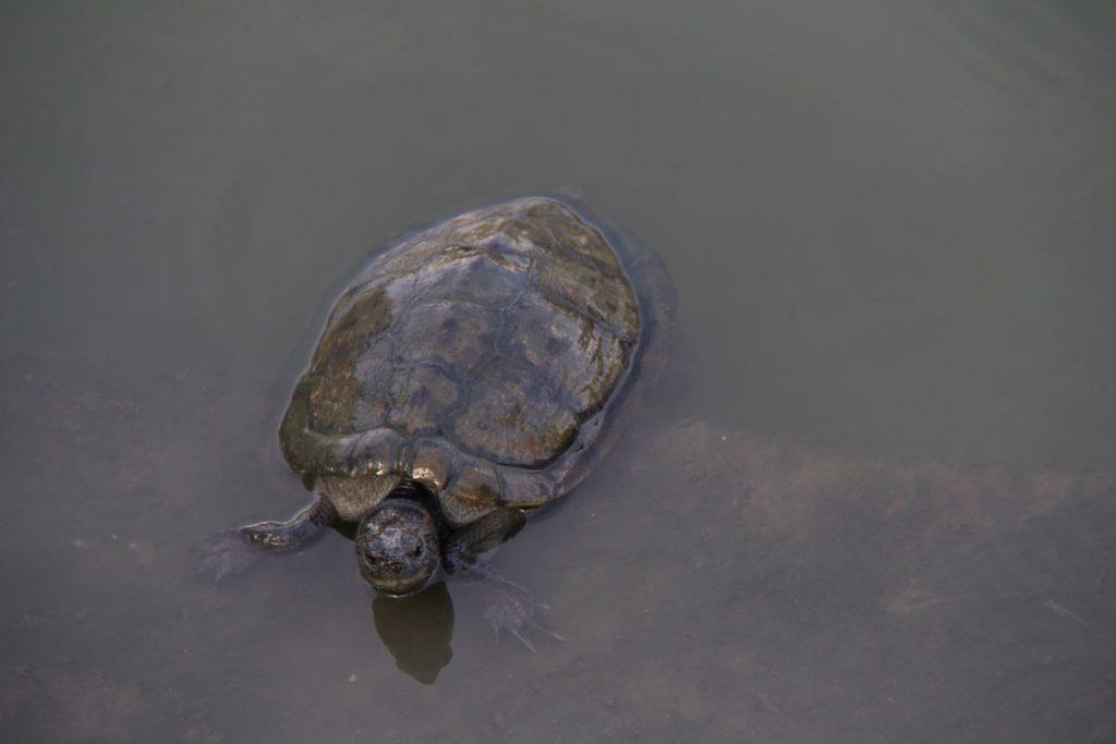 47-tortuga-parque-lumpini